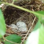 Red Bird's nest